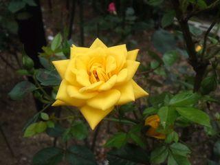 スタンダードローズ・黄色